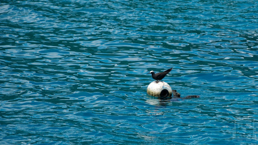 Black Noddy! Get off my mooring ball!